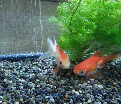20160930 金魚2