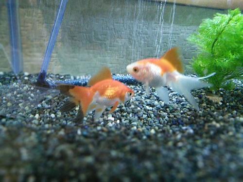 20160930 金魚