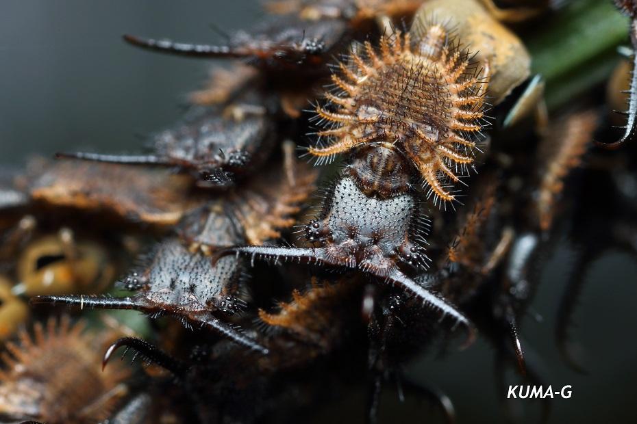 Libelloides ramburi
