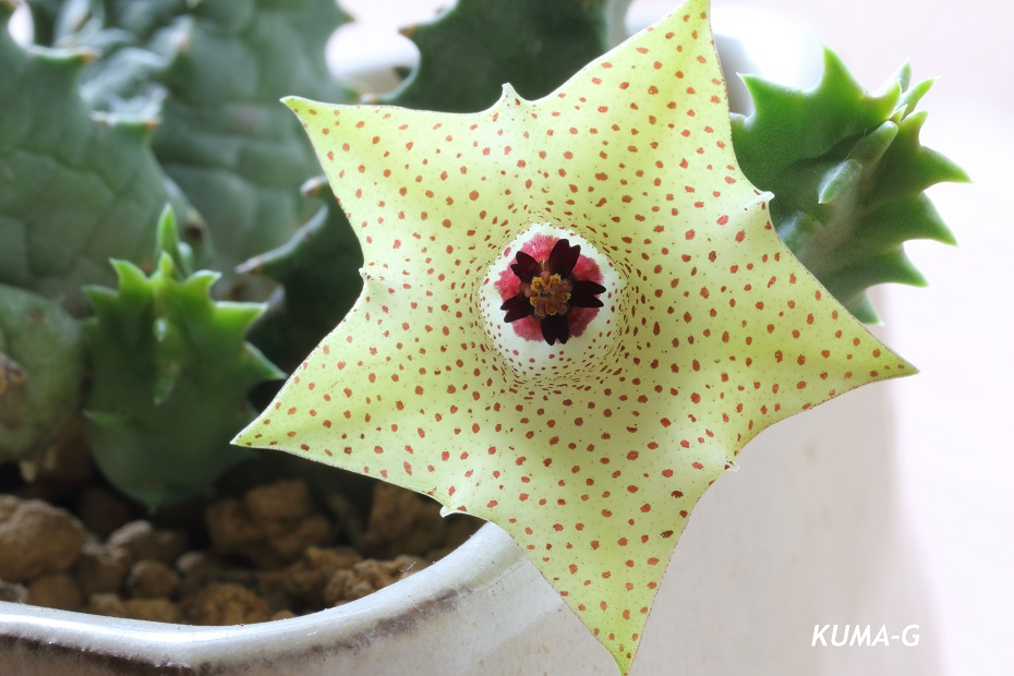 Huernia brevirostris フェルニア ブレビロストリス