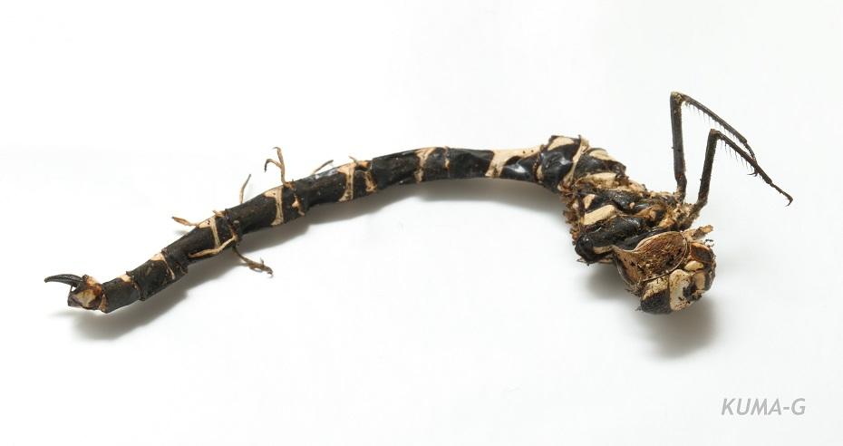 Hymenostilbe odonatae