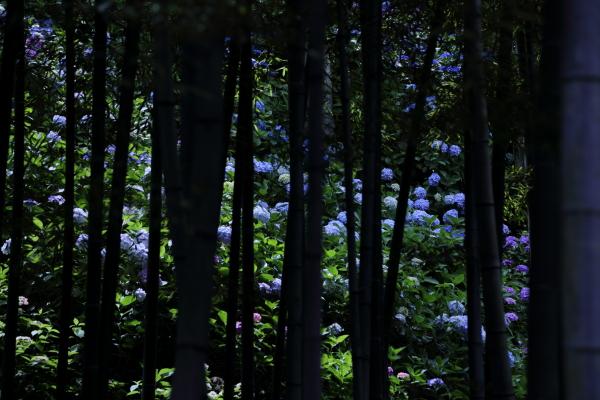 鎌倉紫陽花んぽ 2016