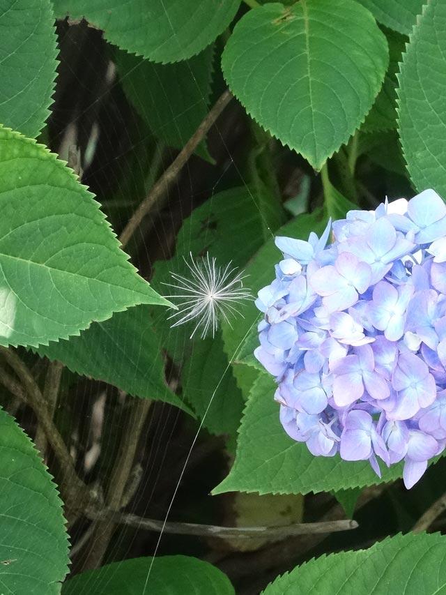 くもの巣と紫陽花と綿毛
