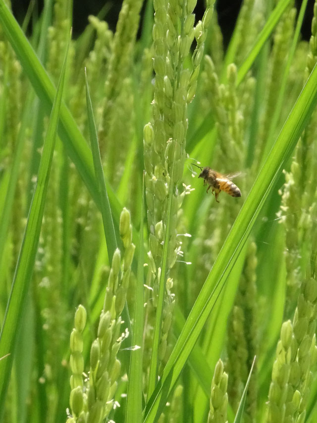 稲の花とミツバチ
