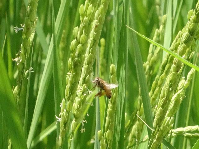 稲の花とミツバチ2
