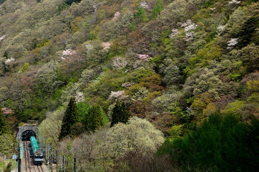 春いっぱい目覚めの山桜