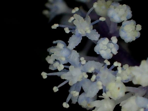 小紫陽花20160921-6-a