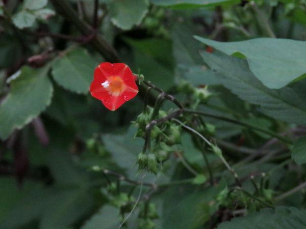 丸葉縷紅20160921-1-a