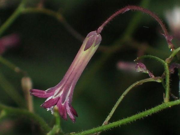 紫苦菜20161019-4-a