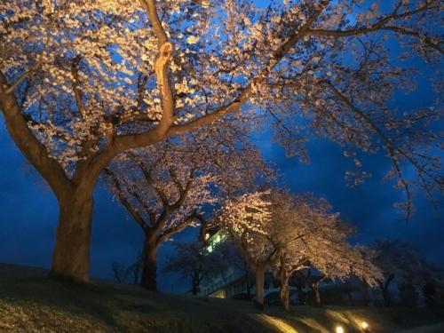 2016-04-14松ヶ峯桜2