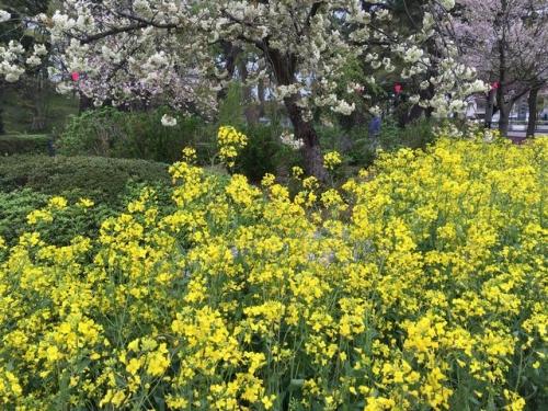 2016-04-18桜見本園菜の花