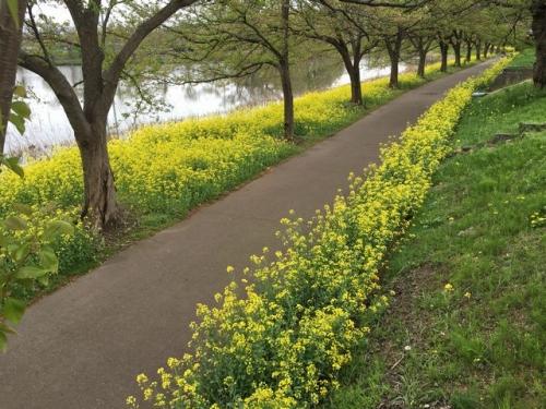 2016-04-18高田公園菜の花2