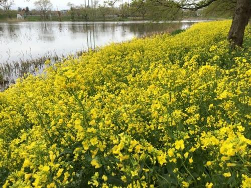 2016-04-18 高田公園菜の花1