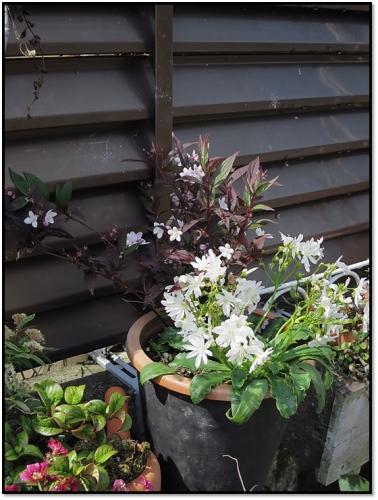 春の寄せ植え2