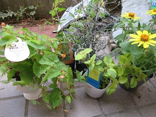 ジニアの寄せ植え1