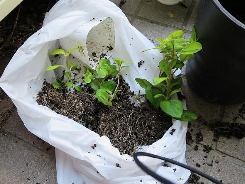 ジニアの寄せ植え2