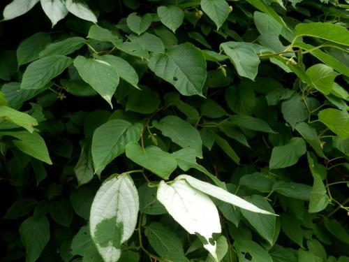 ○マタタビの葉