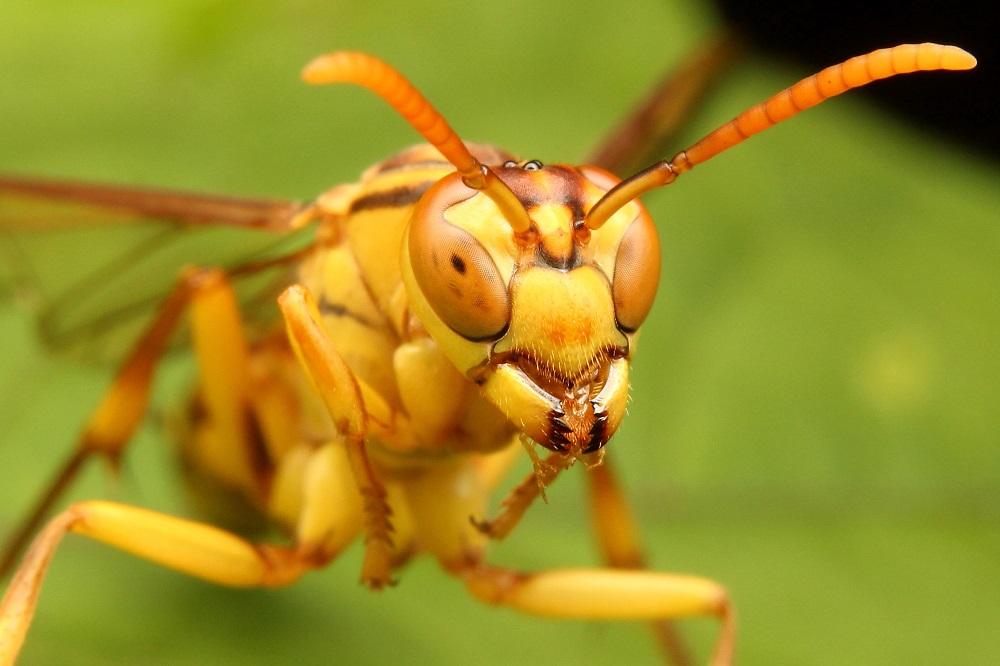 ムモンホソアシナガバチ (2)b