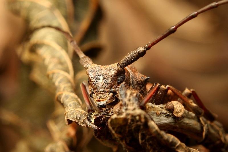 フジヤコブヤハズカミキリ (3)b