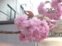 なに桜?♪