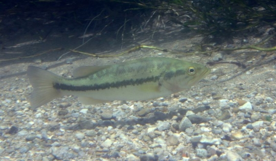Largemouth_bass_-_Micropterus_salmoides.jpg