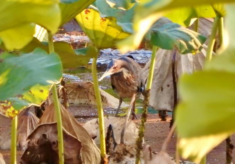 タカサゴクロサギ2016-11-05 119 (800x561)