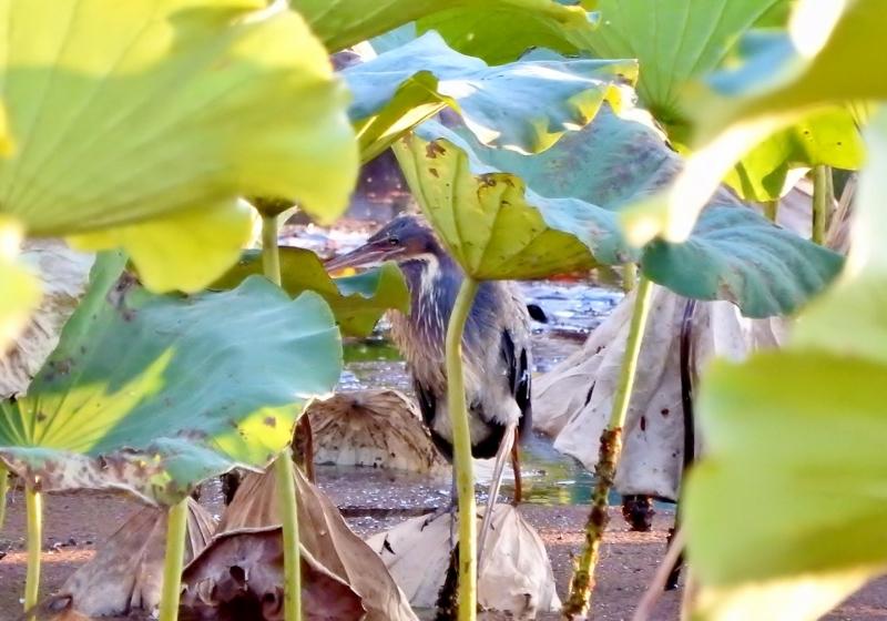 タカサゴクロサギ2016-11-05 126 (800x560)