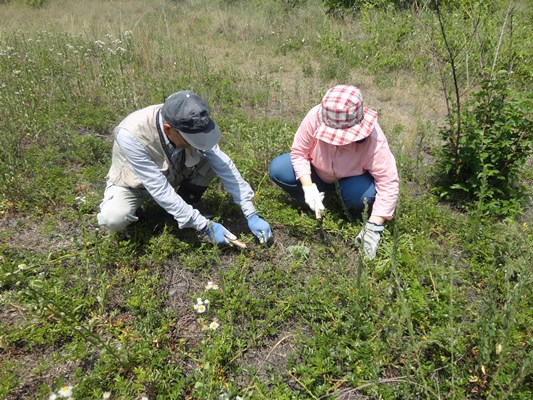 地表面を這うテリハノイバラを間伐し、カワラナデシコの日あたりをよくしていきます。