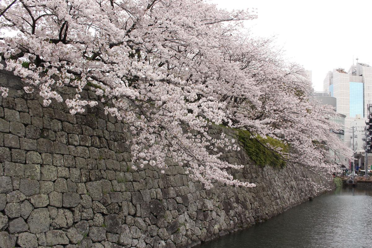ほぼ満開のソメイヨシノ・駿府城外堀南東端 160406