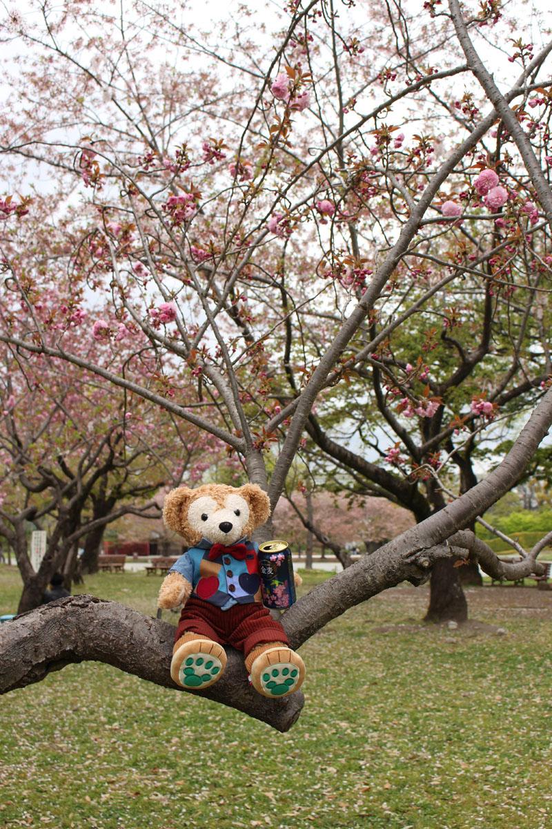八重桜の上で金麦を持つダッフィー 駿府城公園 160413