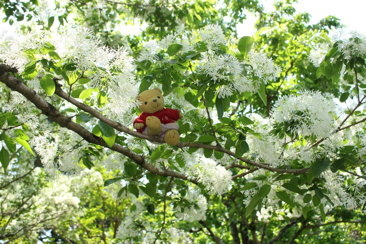 ヒトツバタゴの枝で 城北公園 160501