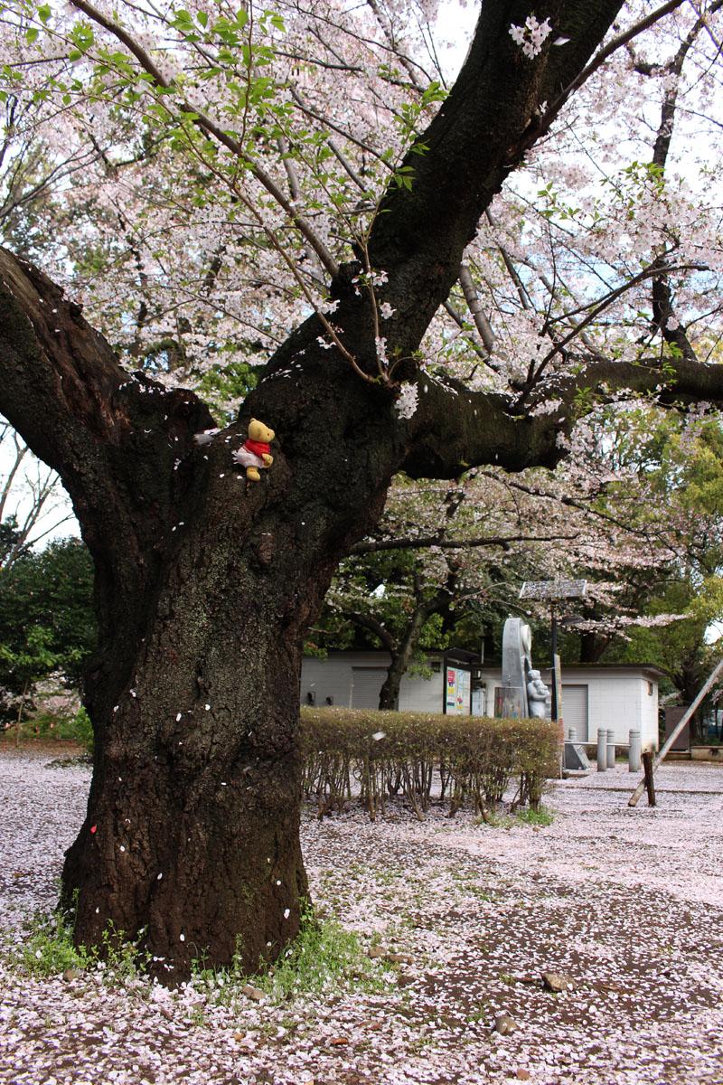 桜の幹を登る 160408 上野