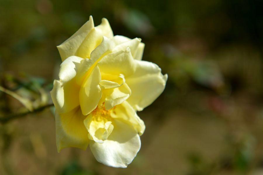 最後のバラ-1