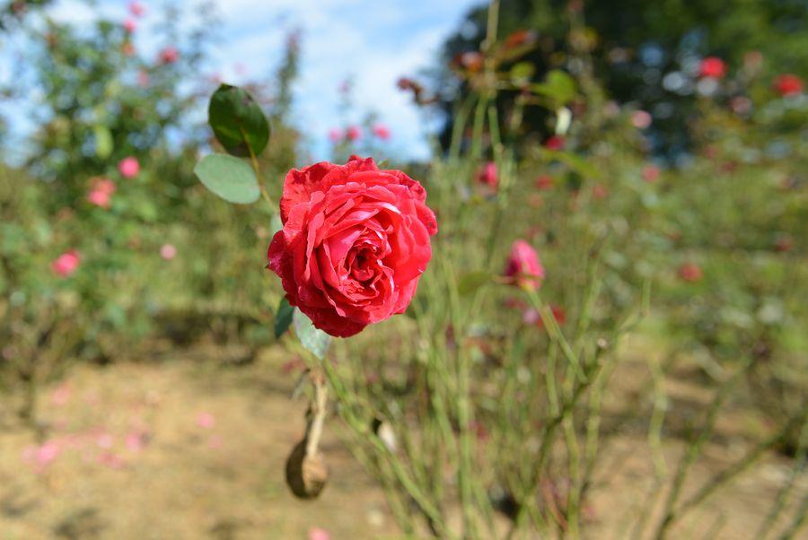 最後のバラ-2