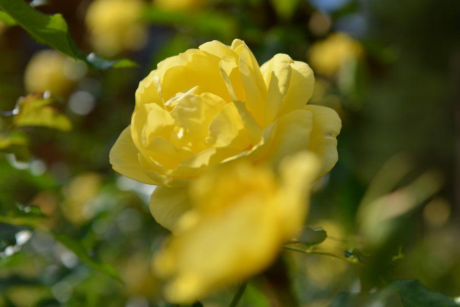 最後のバラ-4
