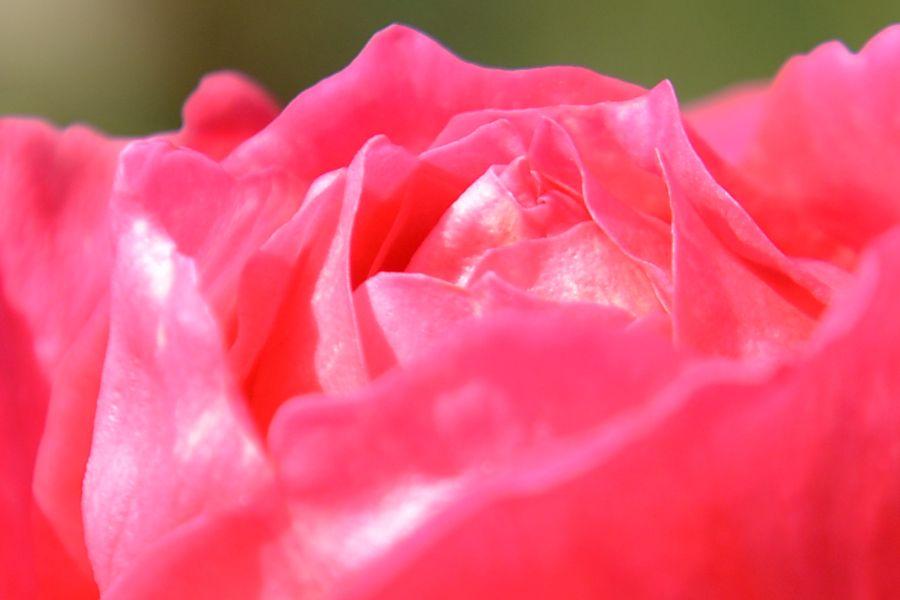 最後のバラ-5