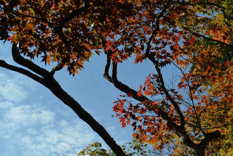 紅葉近し 弥彦公園-2