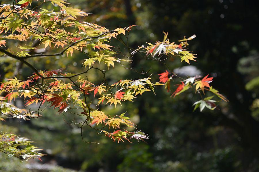 紅葉近し 弥彦公園-4