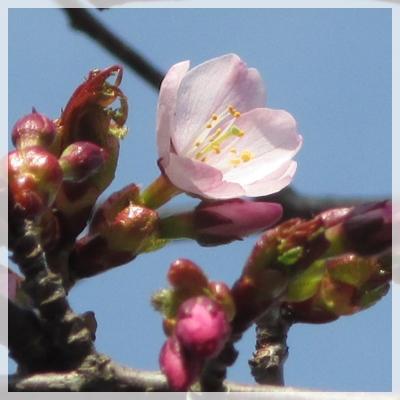 2016年 桜開花