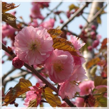 子野日公園 桜 2016年5月19日 2