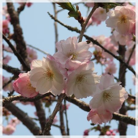 子野日公園 桜 2016年5月19日 1