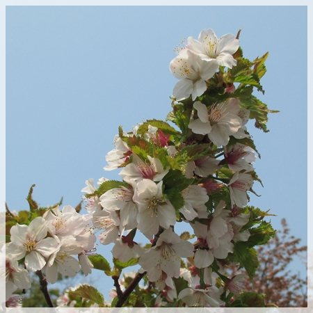 子野日公園 桜 2016年5月19日 5