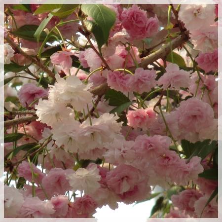 子野日公園 桜 2016年5月19日 4