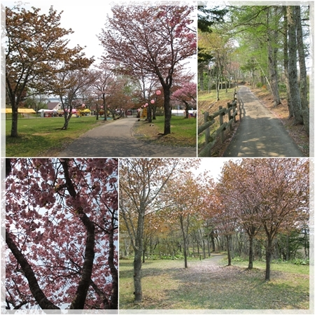 子野日公園 桜 2016年5月19日 3