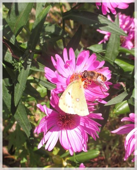 チョウとハチ