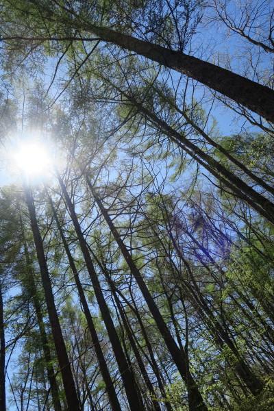 落葉松の中の朝陽