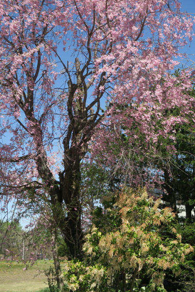 桜とアセビ