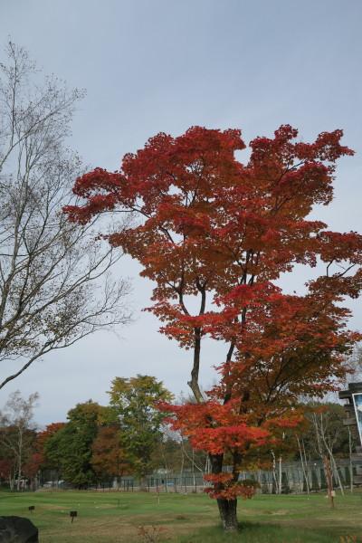 風に立つ紅葉