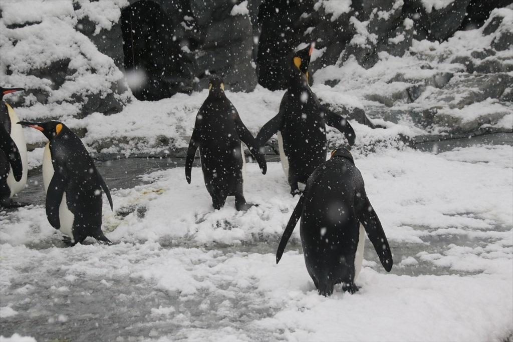 キングペンギン_1