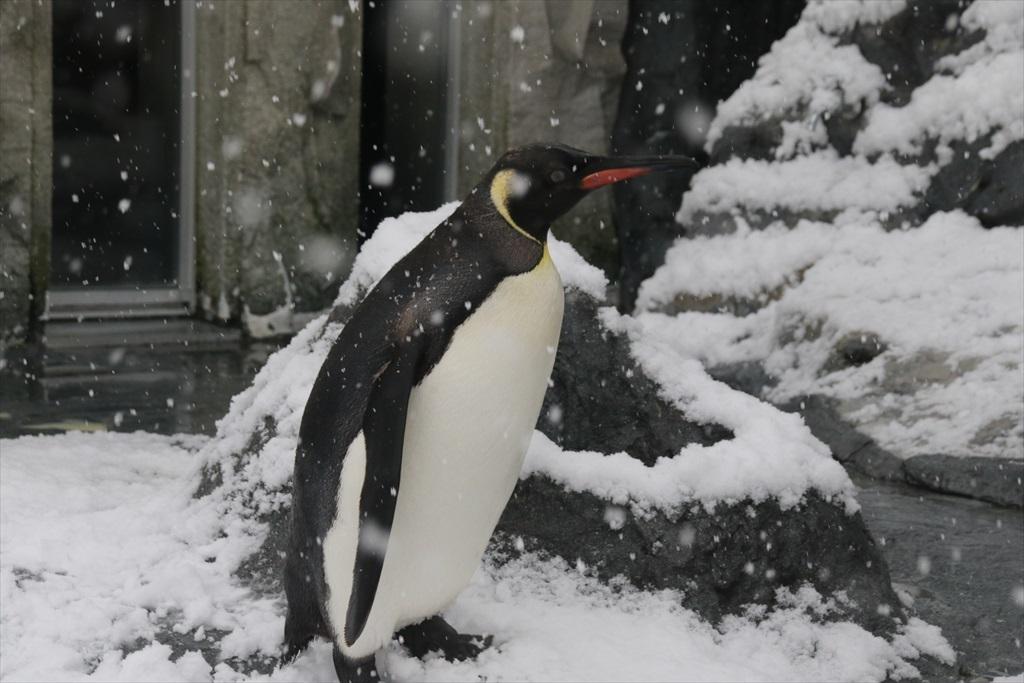 キングペンギン_5